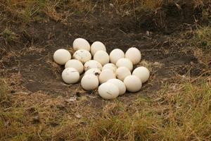 An Ostrich nest